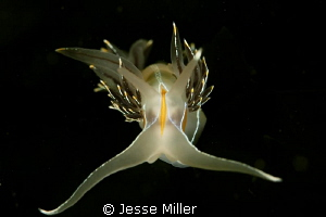 Head on Nudi by Jesse Miller 
